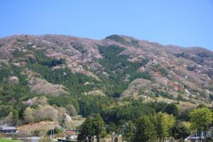 『『『画像:高峯の山桜』の画像』の画像』の画像