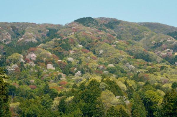 『高峯(山桜)』の画像