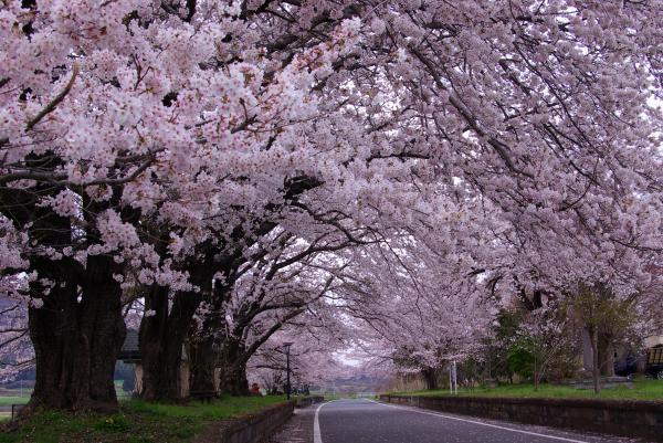 『雨引休憩所の桜』の画像