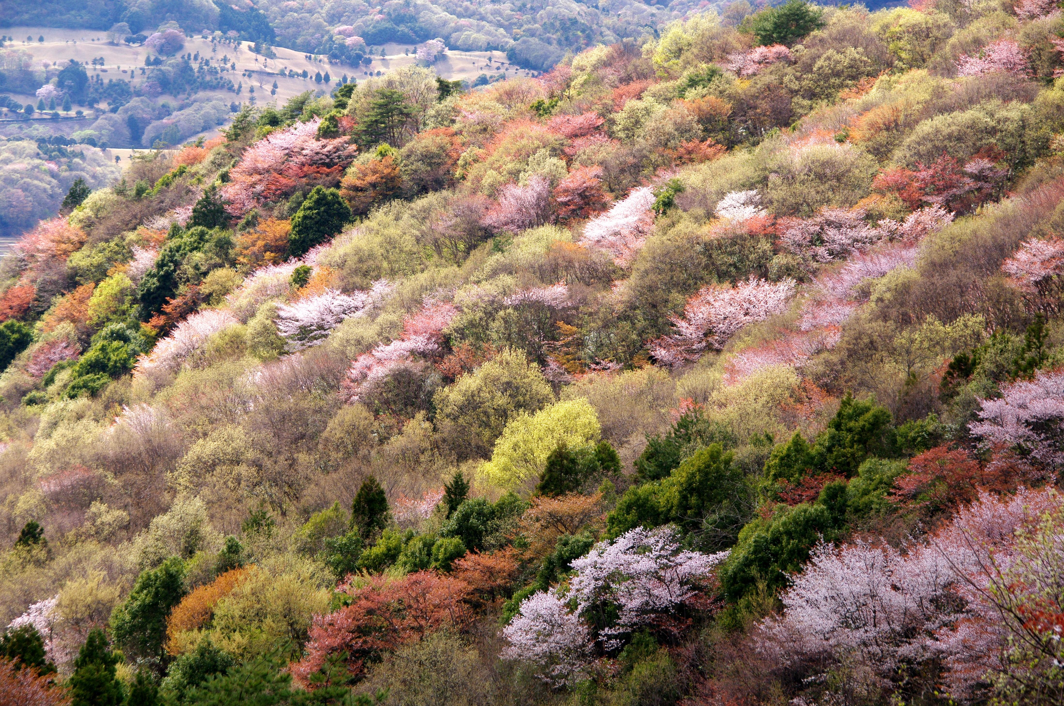 『【表紙画像】桜川市ヤマザクラ保全活用計画(七曲-中景)』の画像
