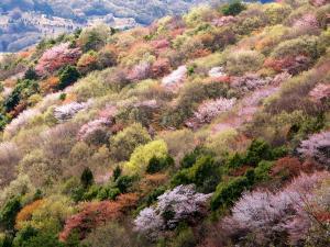『『山桜を守り育て広める取組』の画像』の画像