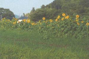 『景観作物(山口集落協定)』の画像