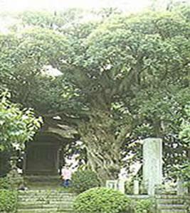 スダジイ樹叢