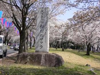 名勝「桜川」の桜まつり画像その2