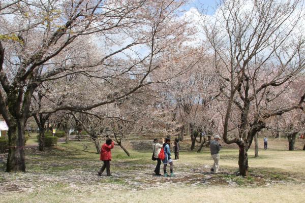 画像:桜川のサクラ